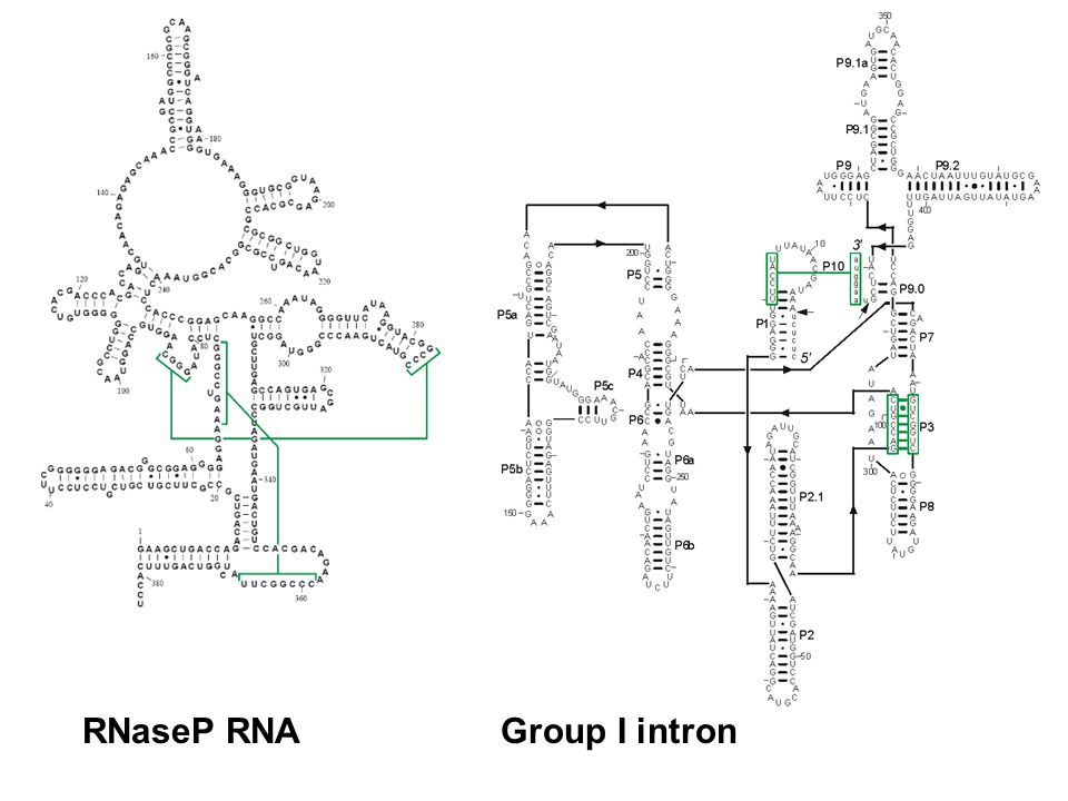 RNaseP RNA Group I intron