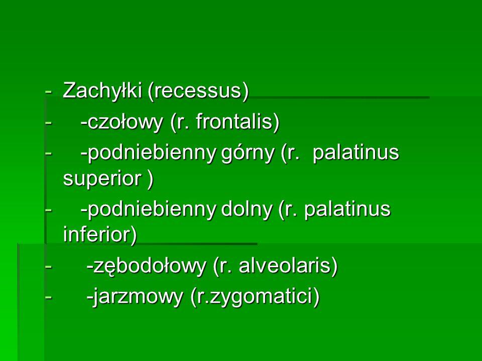 Zachyłki (recessus) -czołowy (r. frontalis) -podniebienny górny (r. palatinus superior ) -podniebienny dolny (r. palatinus inferior)
