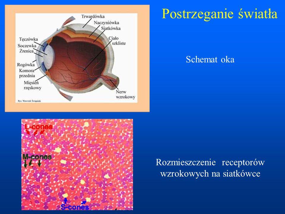 Rozmieszczenie receptorów wzrokowych na siatkówce