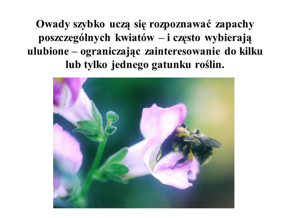Owady szybko uczą się rozpoznawać zapachy poszczególnych kwiatów – i często wybierają ulubione – ograniczając zainteresowanie do kilku lub tylko jednego gatunku roślin.
