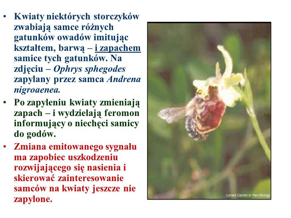 Kwiaty niektórych storczyków zwabiają samce różnych gatunków owadów imitując kształtem, barwą – i zapachem samice tych gatunków. Na zdjęciu – Ophrys sphegodes zapylany przez samca Andrena nigroaenea.