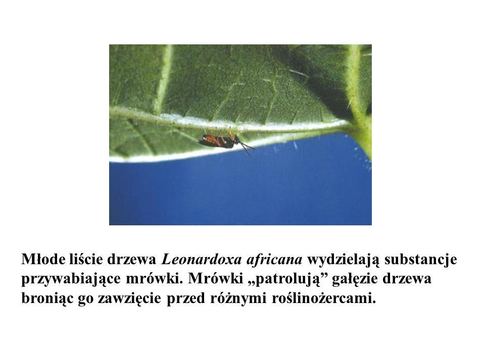 Młode liście drzewa Leonardoxa africana wydzielają substancje