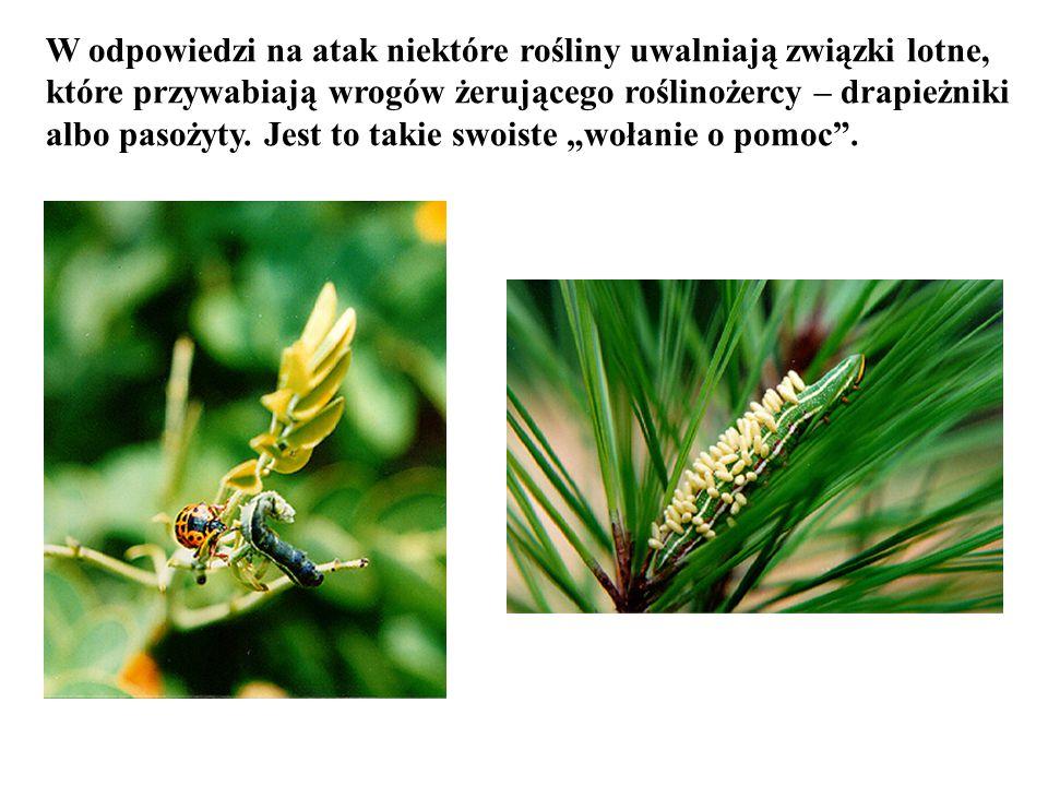 W odpowiedzi na atak niektóre rośliny uwalniają związki lotne,
