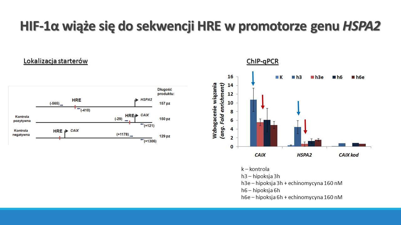 HIF-1α wiąże się do sekwencji HRE w promotorze genu HSPA2