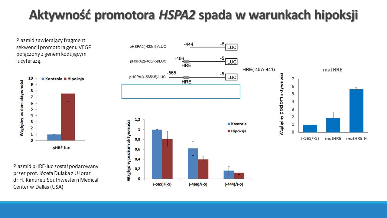 Aktywność promotora HSPA2 spada w warunkach hipoksji