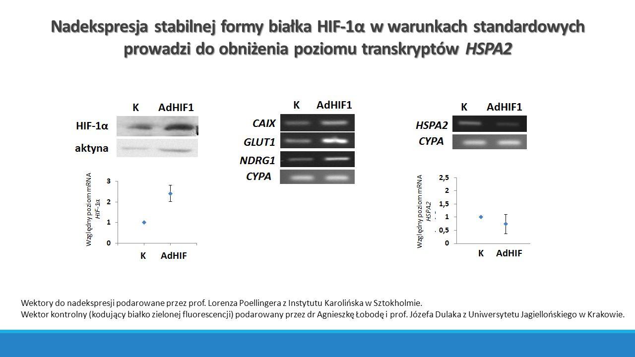 Nadekspresja stabilnej formy białka HIF-1α w warunkach standardowych