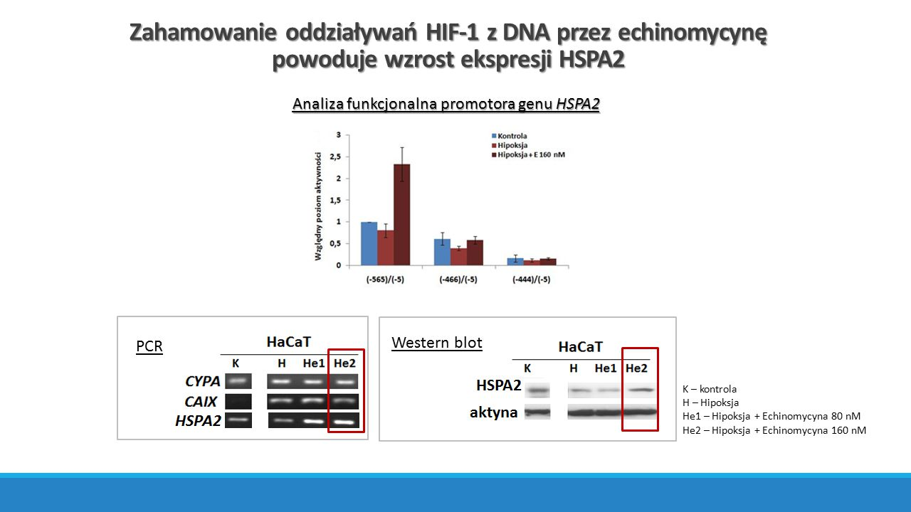 Zahamowanie oddziaływań HIF-1 z DNA przez echinomycynę