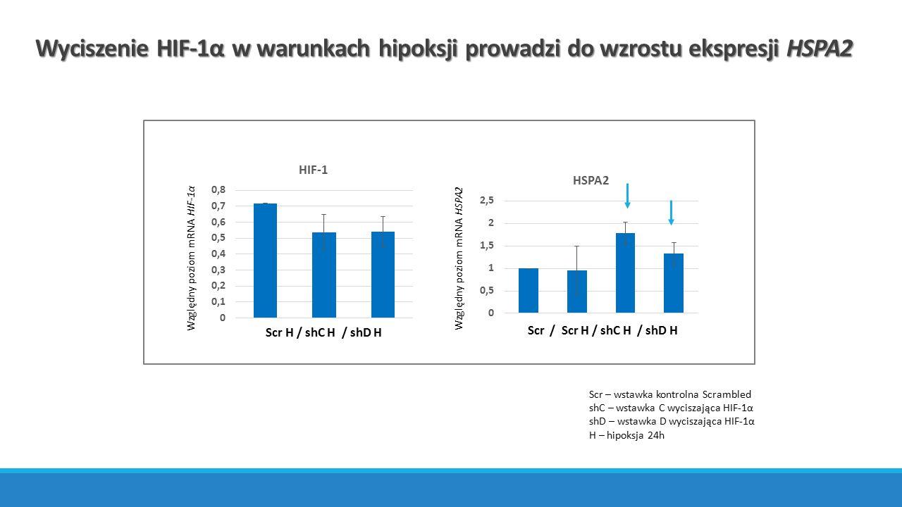 Wyciszenie HIF-1α w warunkach hipoksji prowadzi do wzrostu ekspresji HSPA2