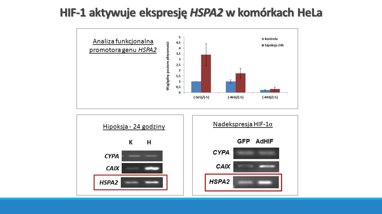 HIF-1 aktywuje ekspresję HSPA2 w komórkach HeLa