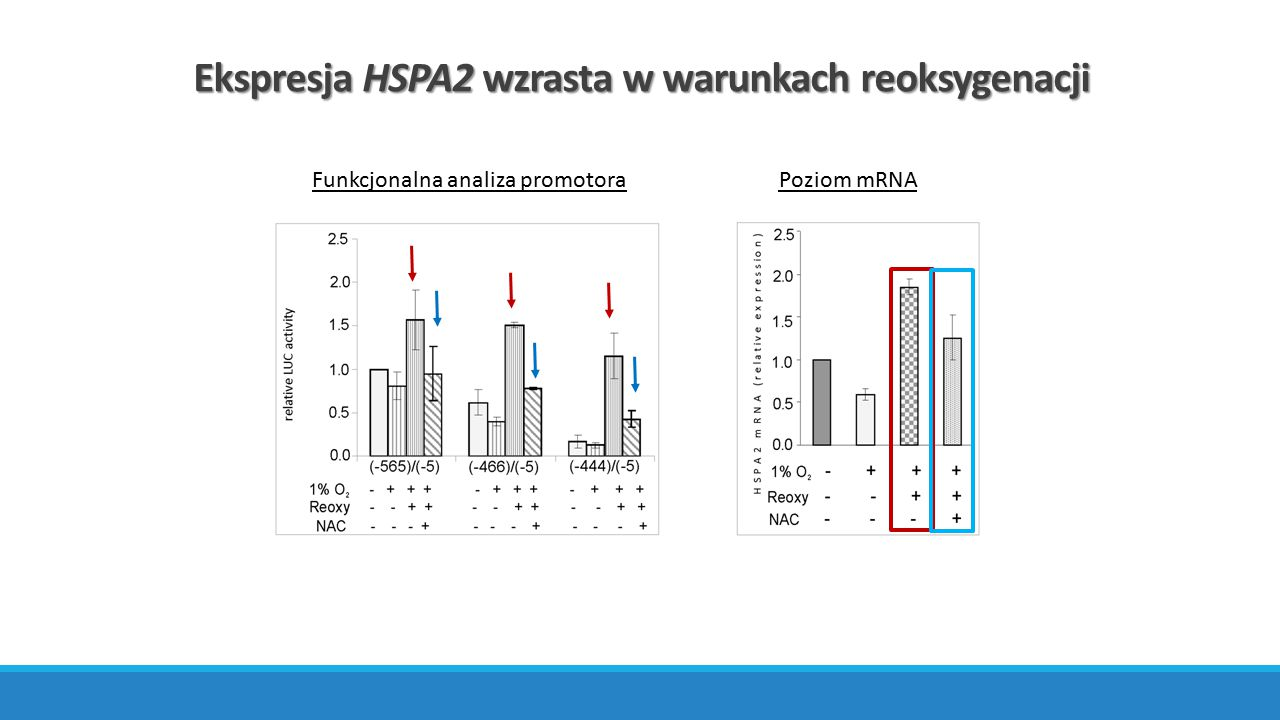 Ekspresja HSPA2 wzrasta w warunkach reoksygenacji