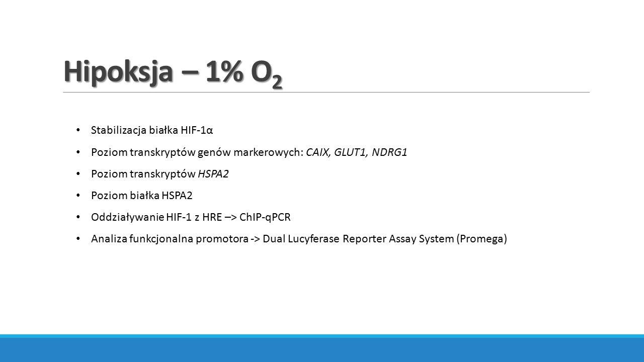 Hipoksja – 1% O2 Stabilizacja białka HIF-1α