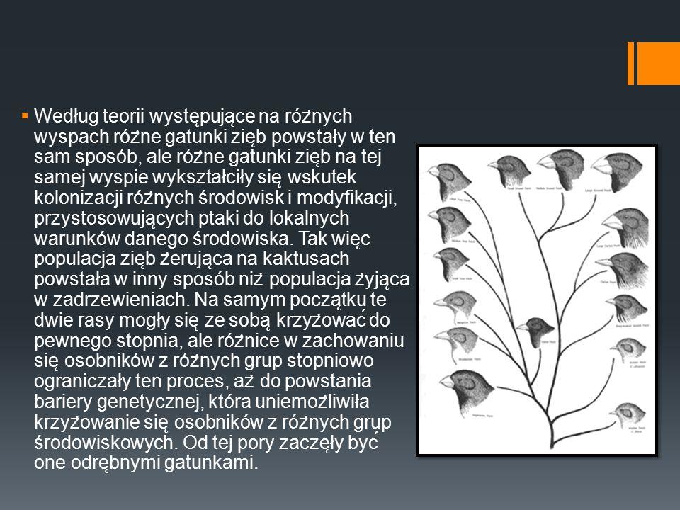 Według teorii występujące na różnych wyspach różne gatunki zięb powstały w ten sam sposób, ale różne gatunki zięb na tej samej wyspie wykształciły się wskutek kolonizacji różnych środowisk i modyfikacji, przystosowujących ptaki do lokalnych warunków danego środowiska.