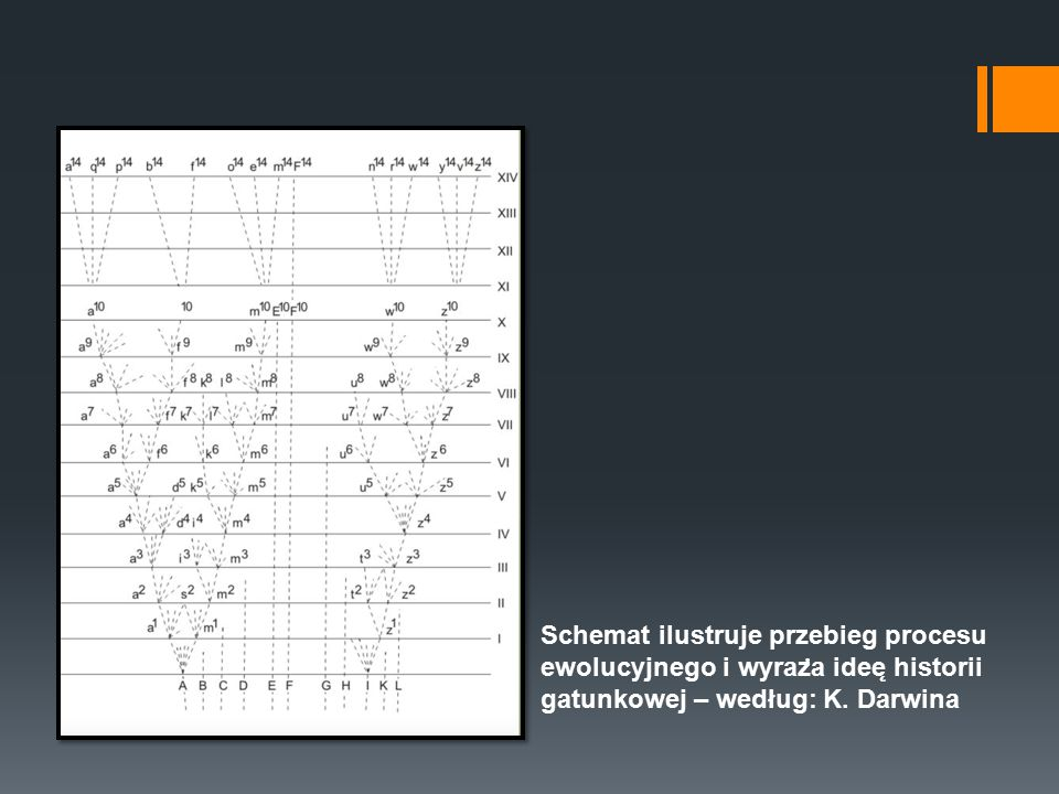 Schemat ilustruje przebieg procesu ewolucyjnego i wyraża ideę historii gatunkowej – według: K.