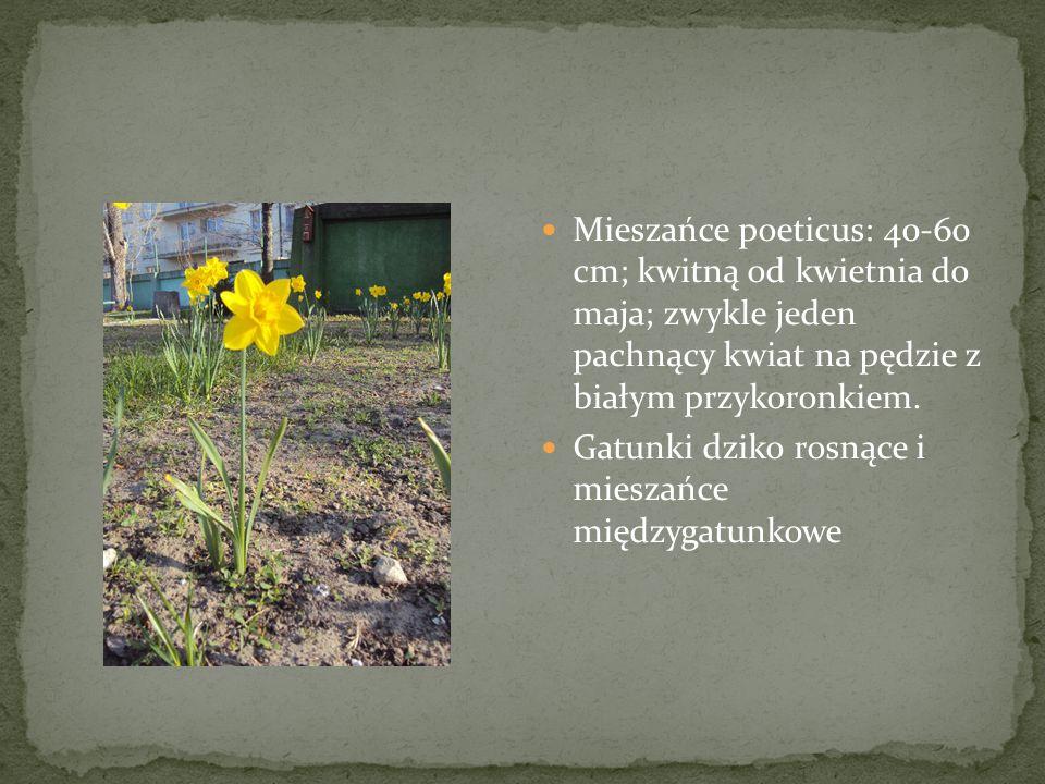 Mieszańce poeticus: 40-60 cm; kwitną od kwietnia do maja; zwykle jeden pachnący kwiat na pędzie z białym przykoronkiem.