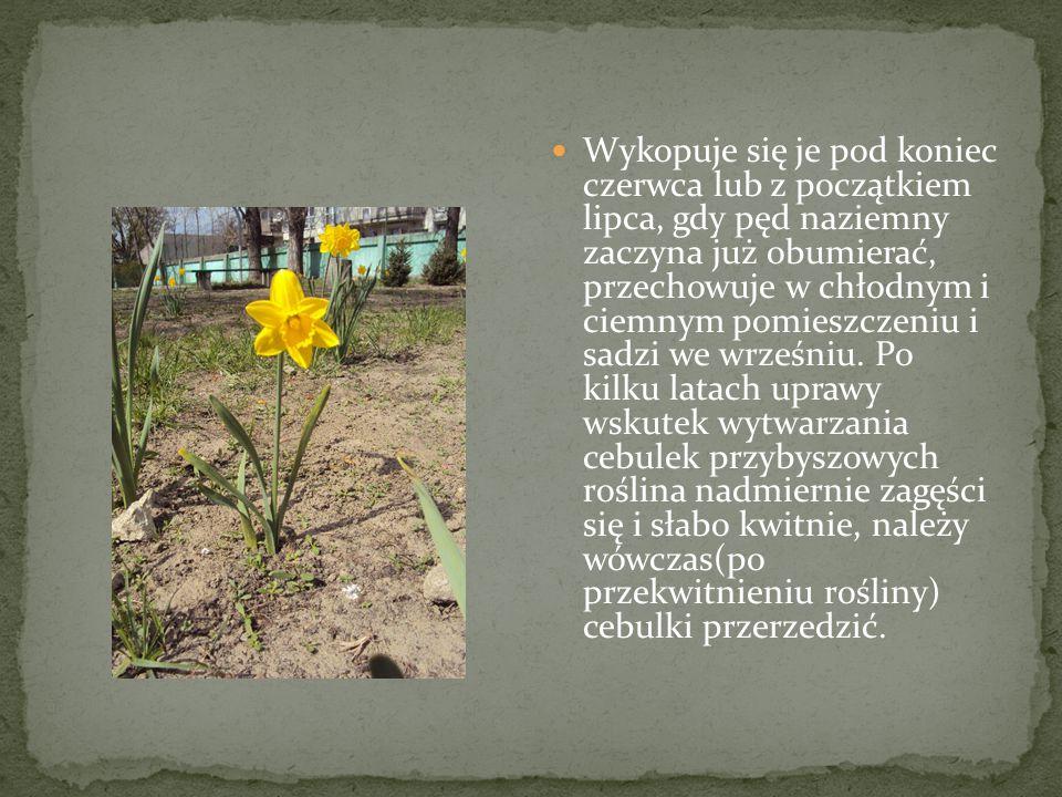Wykopuje się je pod koniec czerwca lub z początkiem lipca, gdy pęd naziemny zaczyna już obumierać, przechowuje w chłodnym i ciemnym pomieszczeniu i sadzi we wrześniu.