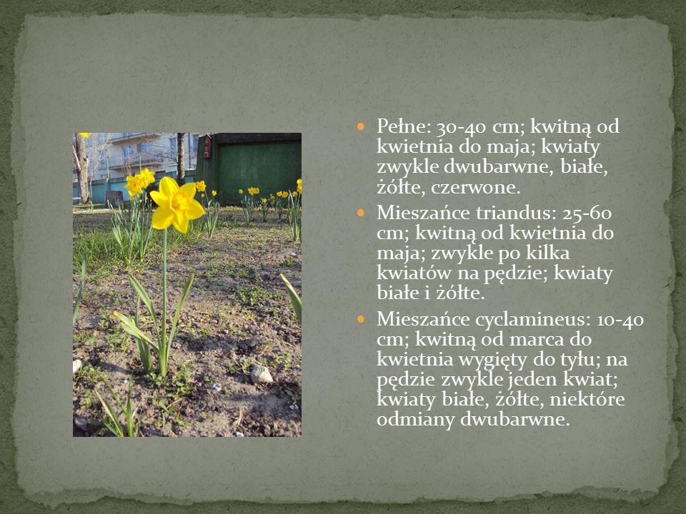 Pełne: 30-40 cm; kwitną od kwietnia do maja; kwiaty zwykle dwubarwne, białe, żółte, czerwone.