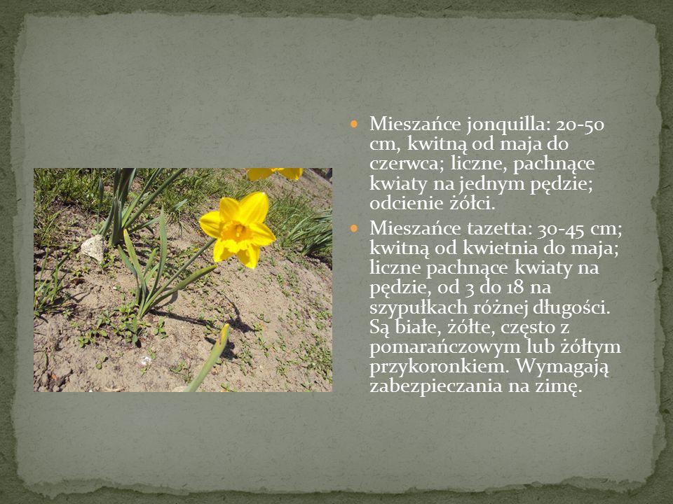 Mieszańce jonquilla: 20-50 cm, kwitną od maja do czerwca; liczne, pachnące kwiaty na jednym pędzie; odcienie żółci.