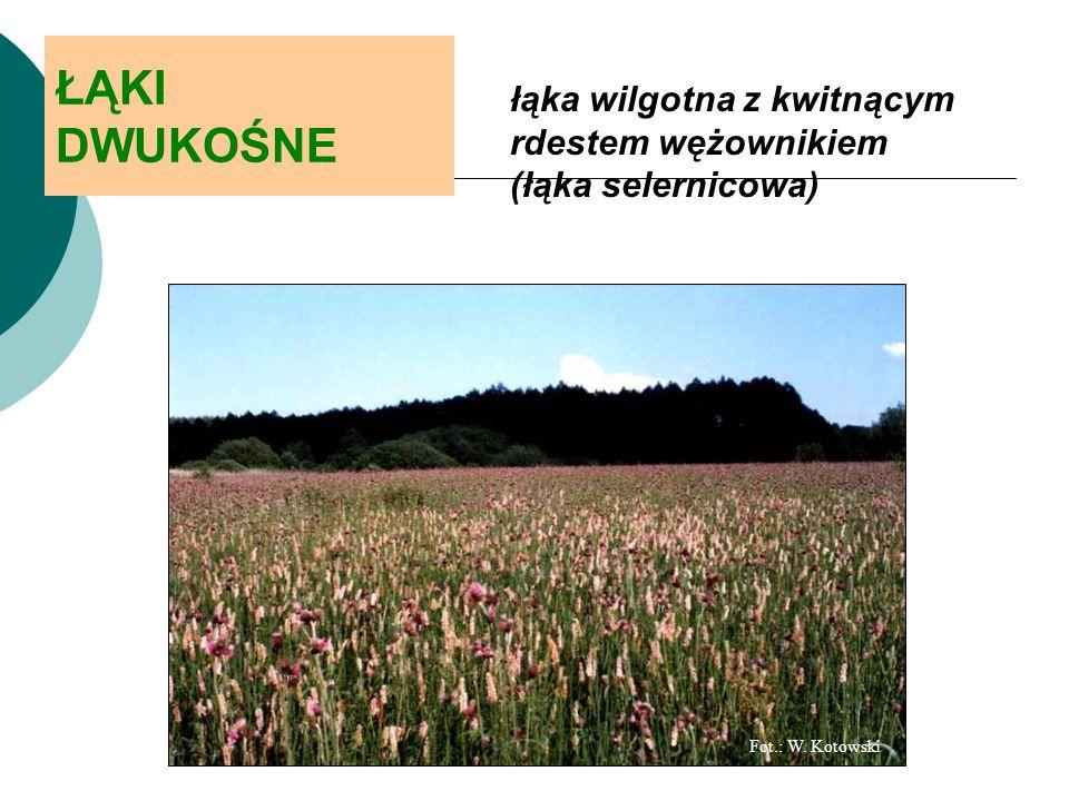 ŁĄKI DWUKOŚNE łąka wilgotna z kwitnącym rdestem wężownikiem (łąka selernicowa) Fot.: W.