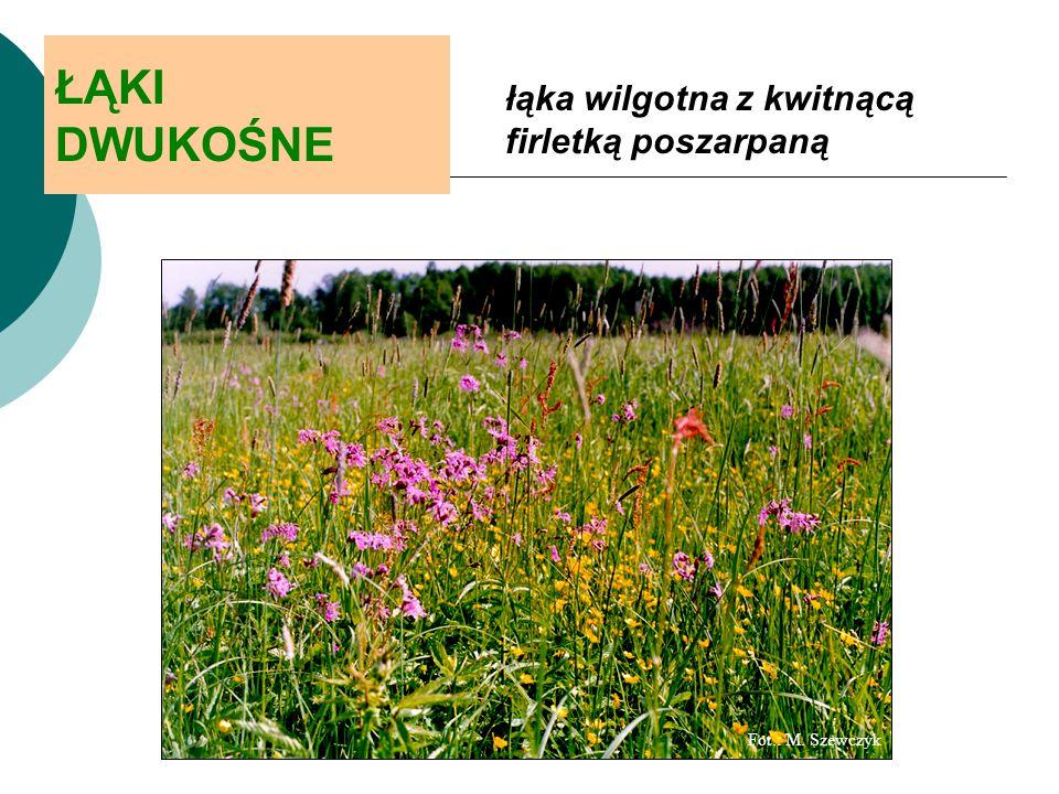 ŁĄKI DWUKOŚNE łąka wilgotna z kwitnącą firletką poszarpaną