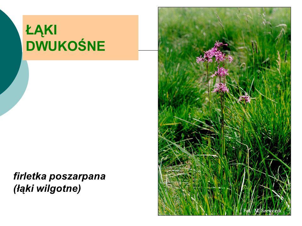Fot.: M. Szewczyk ŁĄKI DWUKOŚNE firletka poszarpana (łąki wilgotne)
