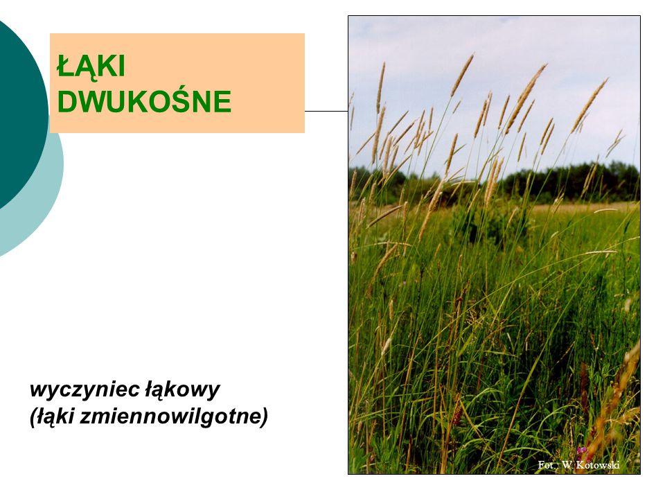 ŁĄKI DWUKOŚNE wyczyniec łąkowy (łąki zmiennowilgotne)