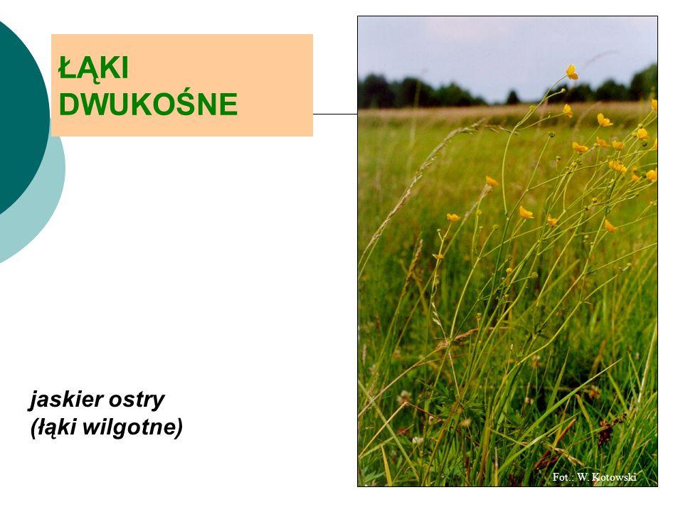 Fot.: W. Kotowski ŁĄKI DWUKOŚNE jaskier ostry (łąki wilgotne)
