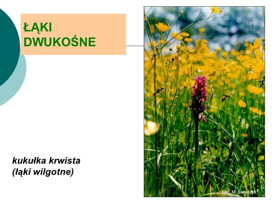 Fot.: M. Szewczyk ŁĄKI DWUKOŚNE kukułka krwista (łąki wilgotne)