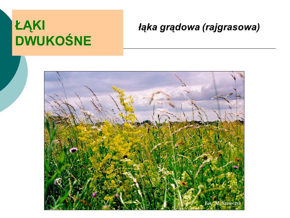 ŁĄKI DWUKOŚNE łąka grądowa (rajgrasowa) Fot.: M. Szewczyk