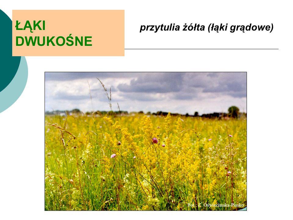 ŁĄKI DWUKOŚNE przytulia żółta (łąki grądowe)