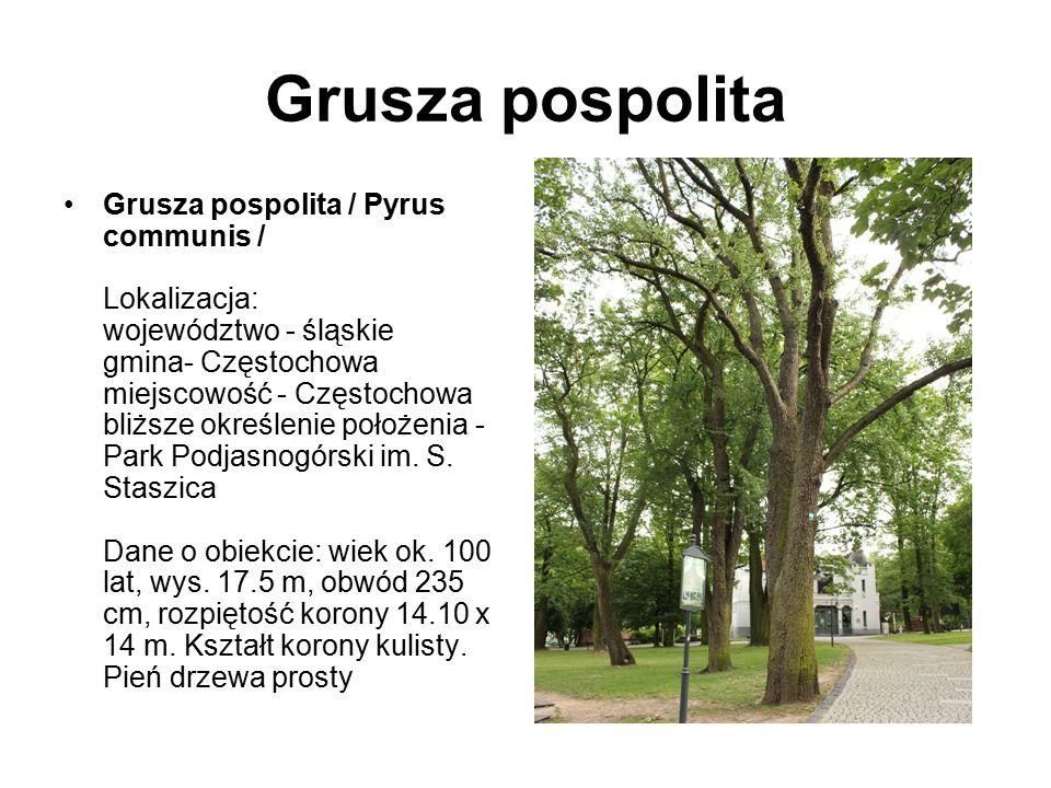 Grusza pospolita