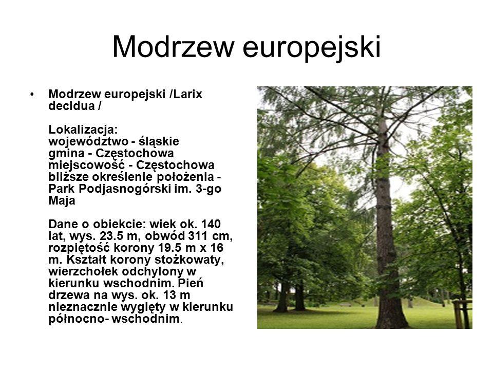 Modrzew europejski