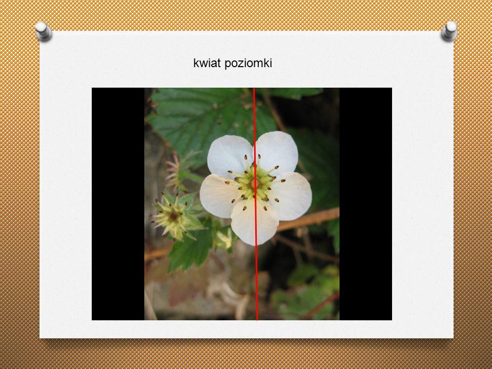 kwiat poziomki