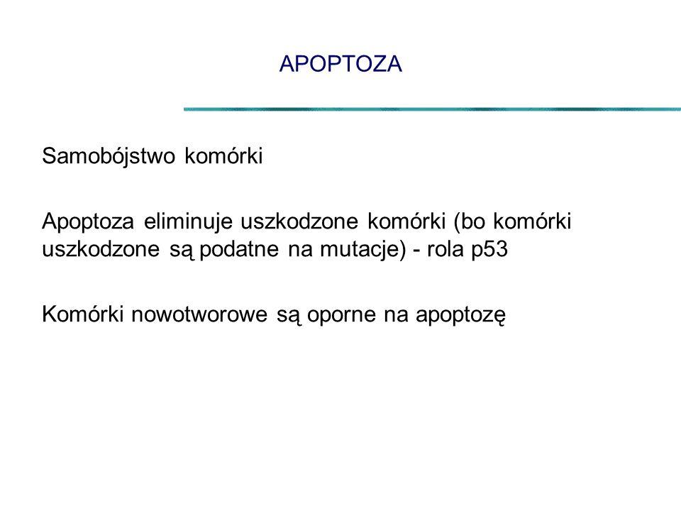 APOPTOZA Samobójstwo komórki. Apoptoza eliminuje uszkodzone komórki (bo komórki uszkodzone są podatne na mutacje) - rola p53.