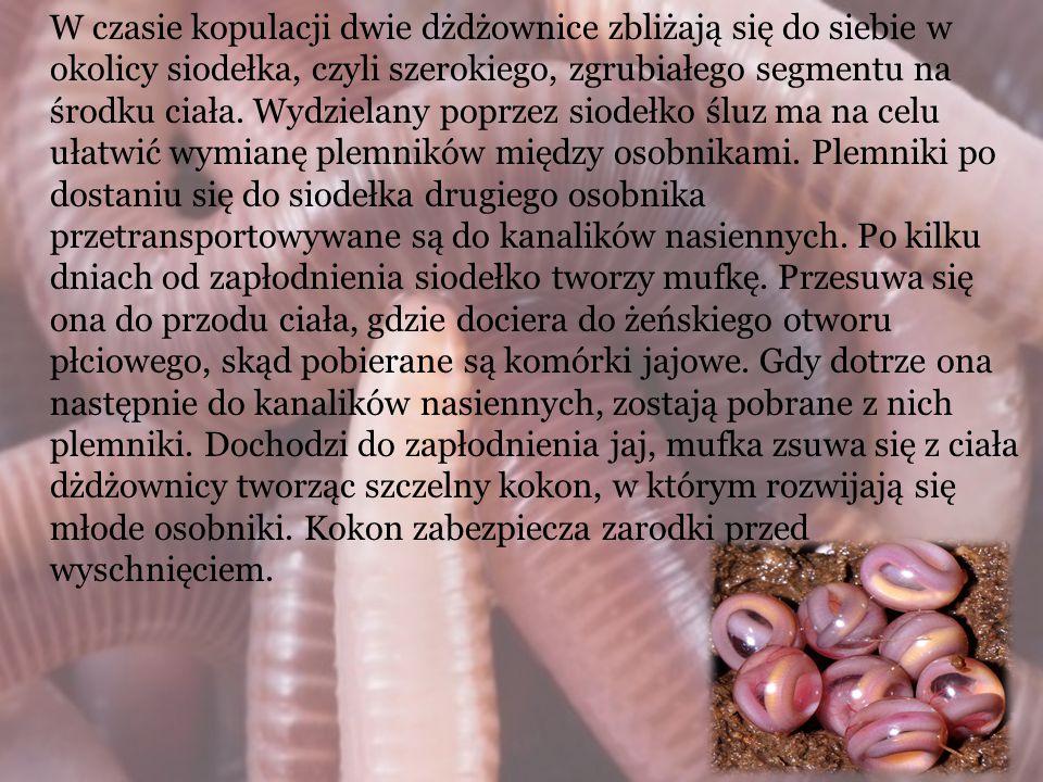 W czasie kopulacji dwie dżdżownice zbliżają się do siebie w okolicy siodełka, czyli szerokiego, zgrubiałego segmentu na środku ciała.