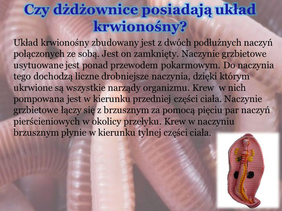 Czy dżdżownice posiadają układ krwionośny