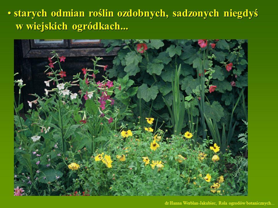 starych odmian roślin ozdobnych, sadzonych niegdyś