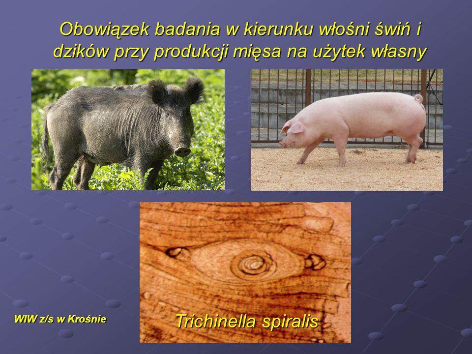 Obowiązek badania w kierunku włośni świń i dzików przy produkcji mięsa na użytek własny