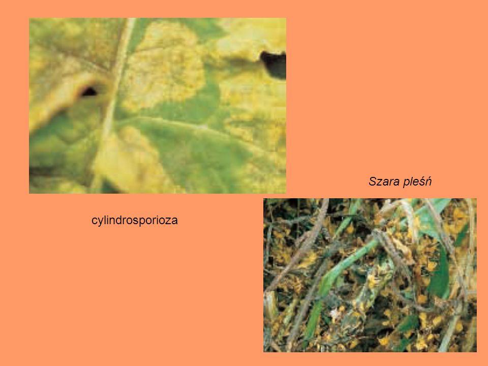 Szara pleśń cylindrosporioza