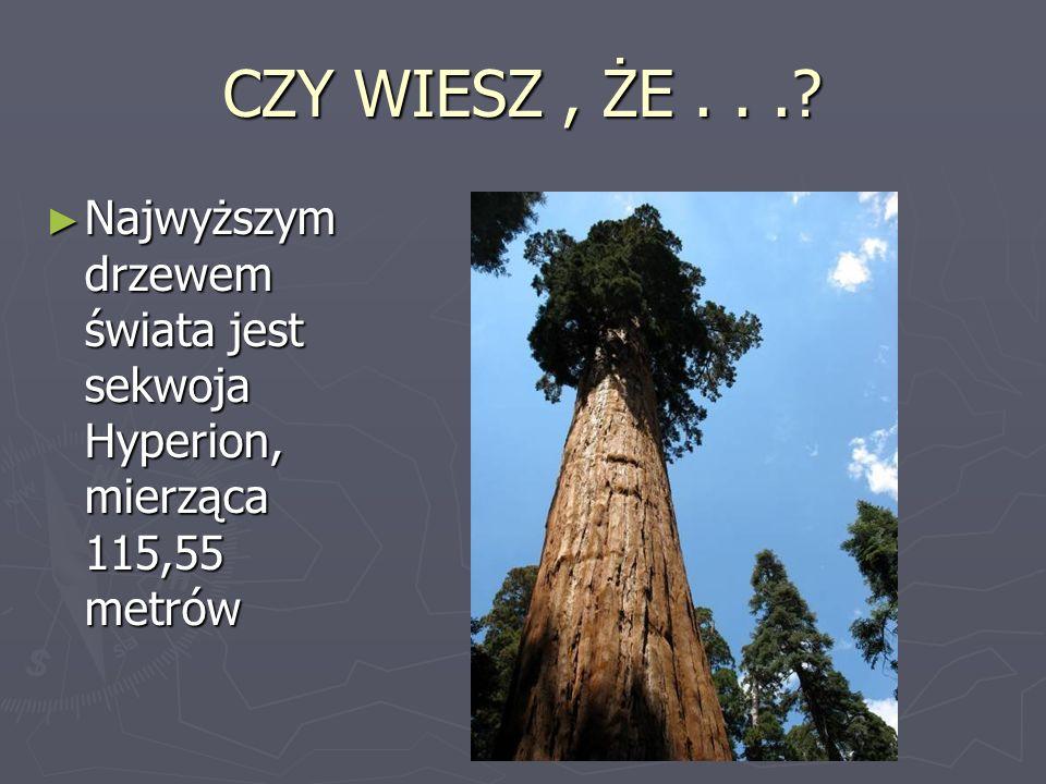 CZY WIESZ , ŻE . . . Najwyższym drzewem świata jest sekwoja Hyperion, mierząca 115,55 metrów