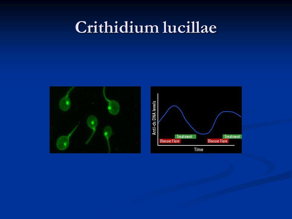 Crithidium lucillae