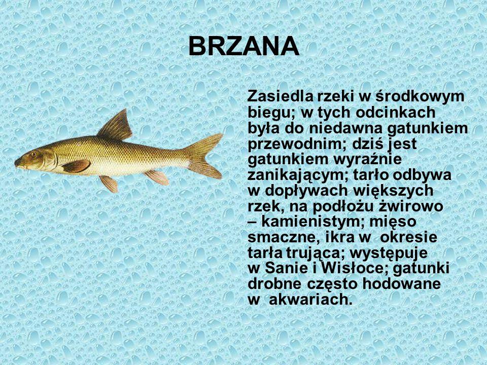 BRZANA