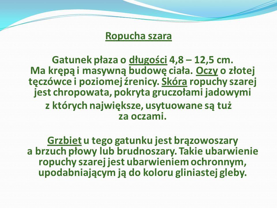 Ropucha szara Gatunek płaza o długości 4,8 – 12,5 cm