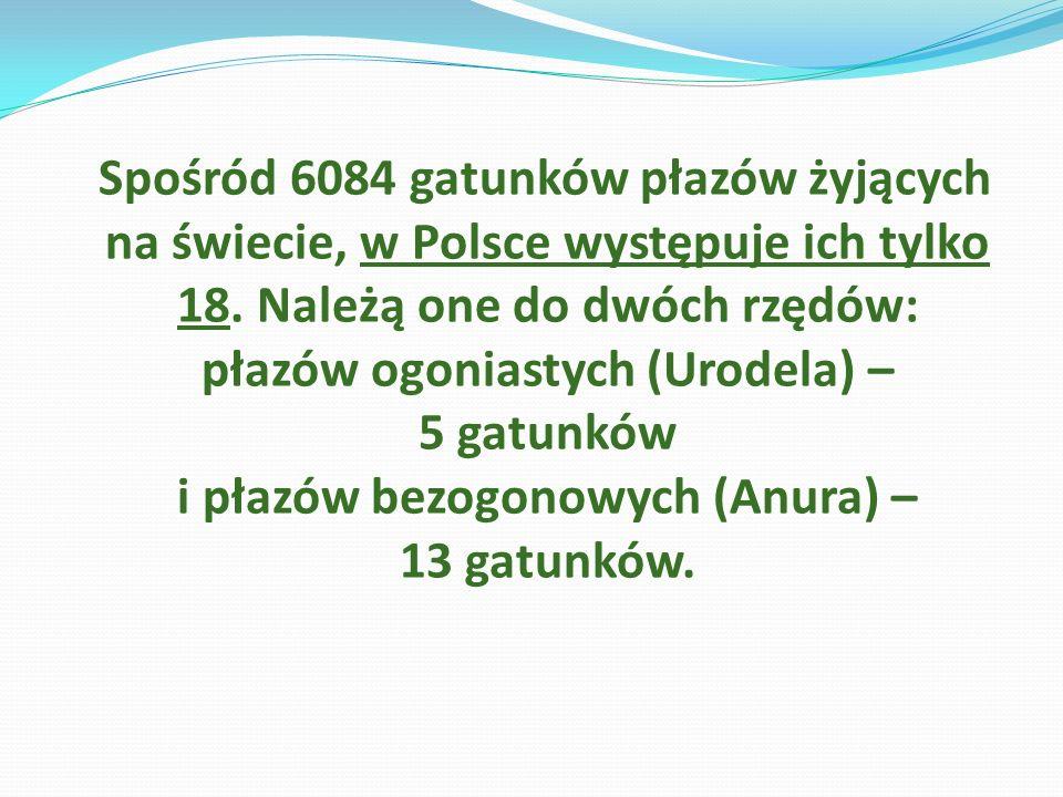 Spośród 6084 gatunków płazów żyjących na świecie, w Polsce występuje ich tylko 18.