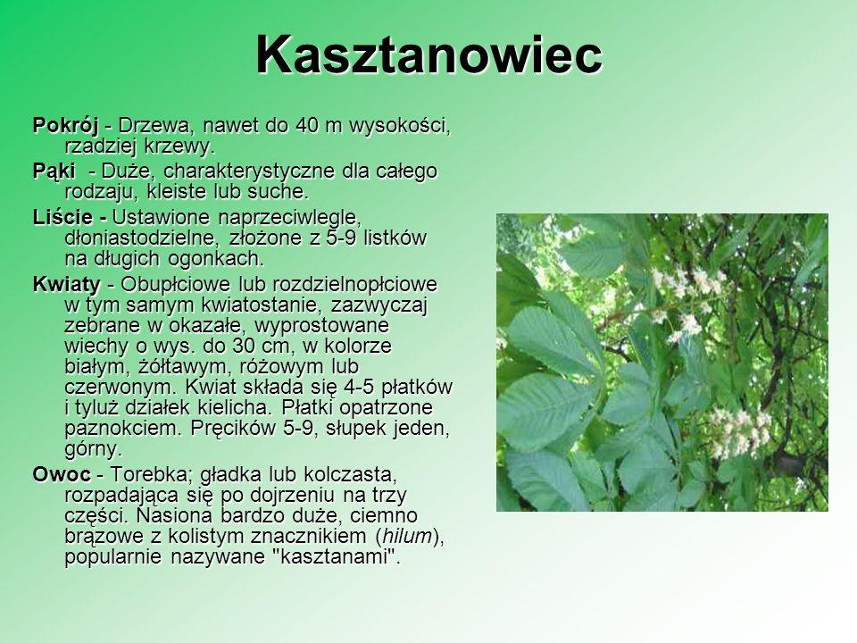 KasztanowiecPokrój - Drzewa, nawet do 40 m wysokości, rzadziej krzewy. Pąki - Duże, charakterystyczne dla całego rodzaju, kleiste lub suche.
