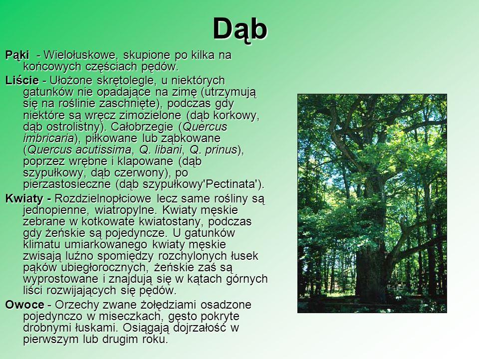 DąbPąki - Wielołuskowe, skupione po kilka na końcowych częściach pędów.