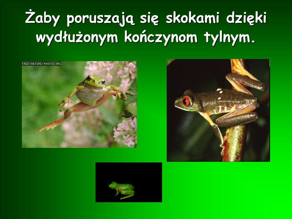 Żaby poruszają się skokami dzięki wydłużonym kończynom tylnym.