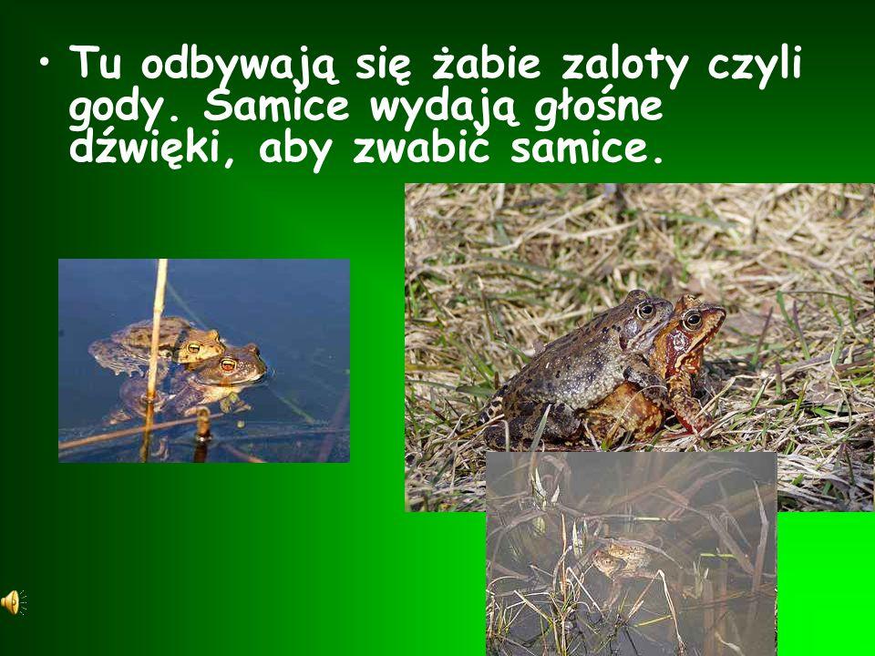 Tu odbywają się żabie zaloty czyli gody
