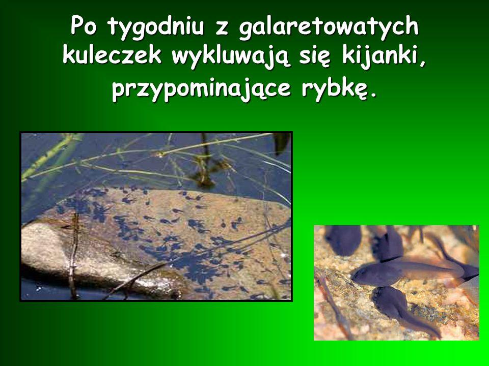 Po tygodniu z galaretowatych kuleczek wykluwają się kijanki, przypominające rybkę.