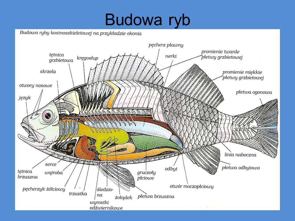 Budowa ryb