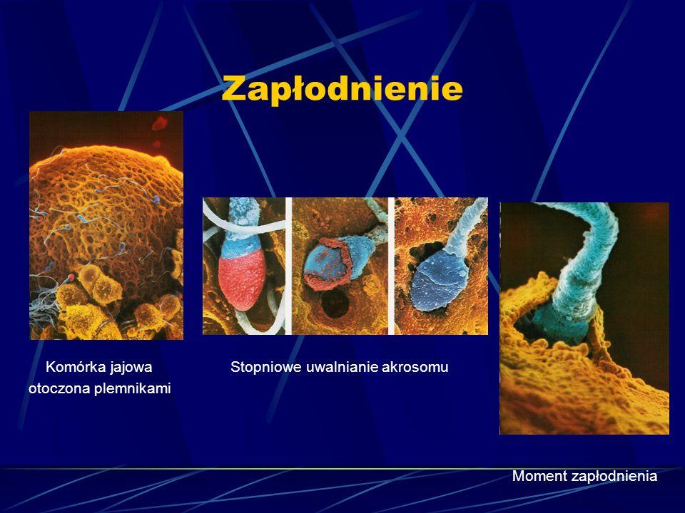 Zapłodnienie Komórka jajowa Stopniowe uwalnianie akrosomu